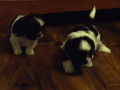 Shih Tzu Puppies learning to walk