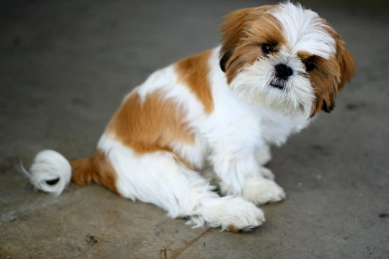 Imperial Shih Tzu Puppies