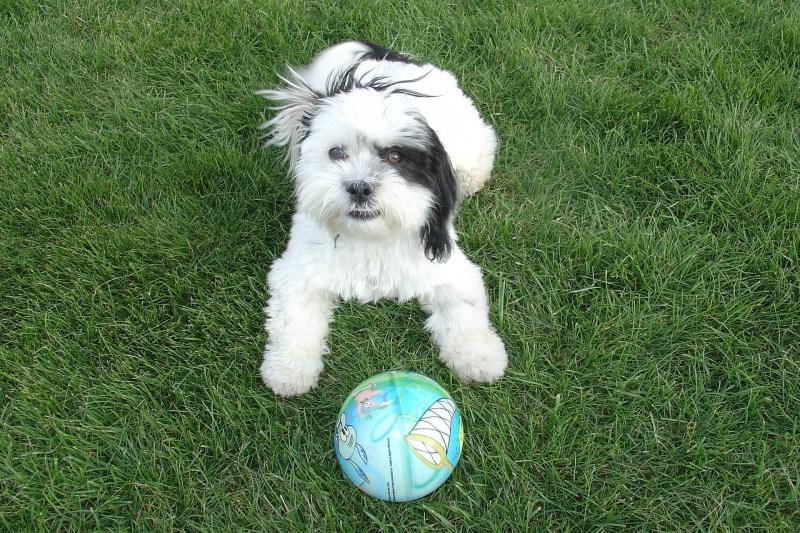 Training Shih Tzu Puppies