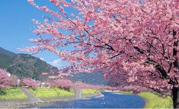 伊豆の河津桜まつり