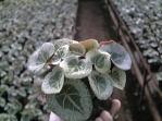植え替えが近づいてきました シクラメン 神奈川 寒川 谷澤園芸