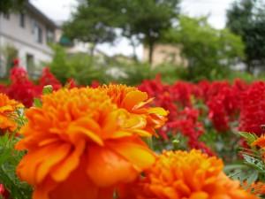近所の公園で咲いていたマリーゴールドとサルビア(2008-07-26 撮影)