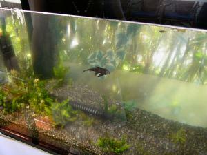 先日行ったメヒコにて。必死にはぐはぐしているプレコちゃん。セルフィンかなあ?(2008-10-01 撮影)
