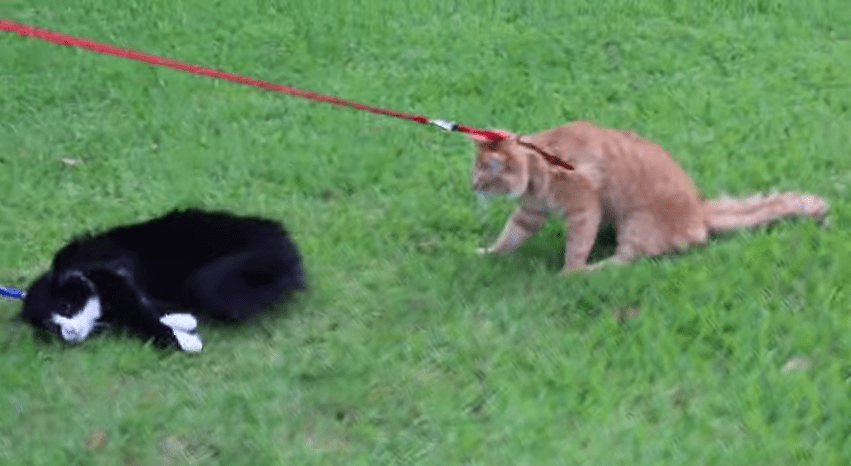 cats walk 2