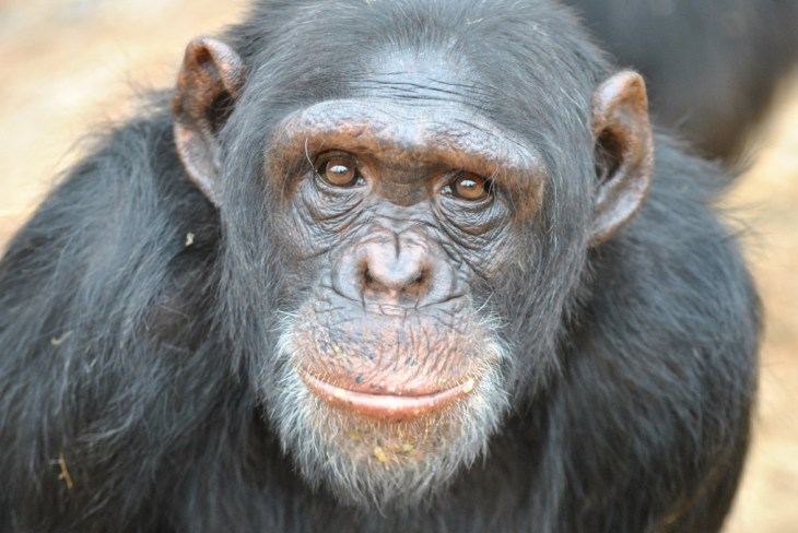 Scientists have just discovered that chimps can learn another 'language'.