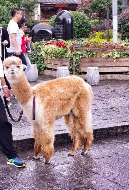 dali-old-town-alpaca