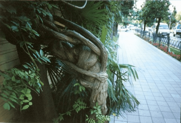 Wikipedia image in the public domain: Vine in the street in Sochi, Russia Made by Alexander Nevzorov