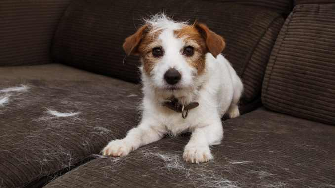 furry dog shedding hair on couch that needs vacuuming
