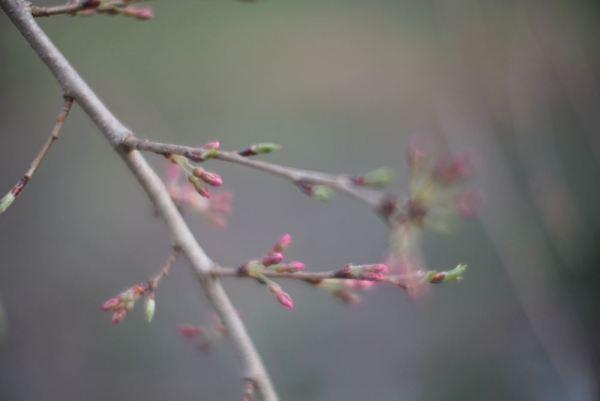 1604桜の光つぼみ