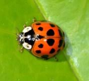 Asain Beetle
