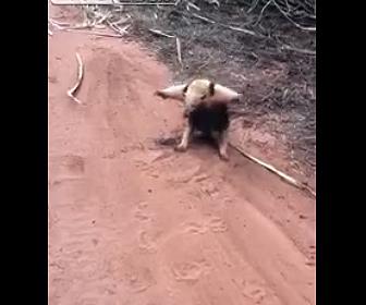 【動物】近づいている人間を威嚇するアリクイが可愛い!