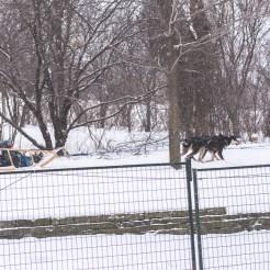 Fête des neiges 2016 - traineau à chiens