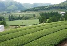 静岡茶業界 市況