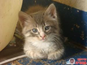 חתלתול שמחפש בית
