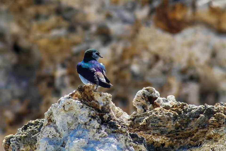Eastern Sierra Violet-Green Swallow at Mono Lake