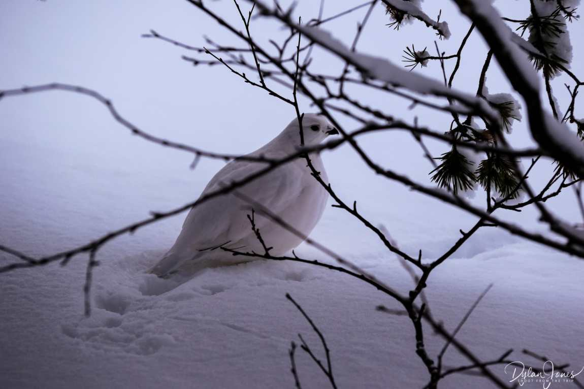 A Willow Grouse spotted during our hike on the Kiilopää Fell, Saariselkä Lapland