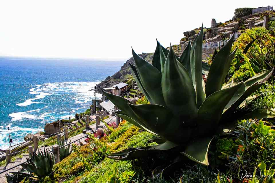 Large agaves and succulents on the terraces of the Minack Theatre, South Cornwall coast