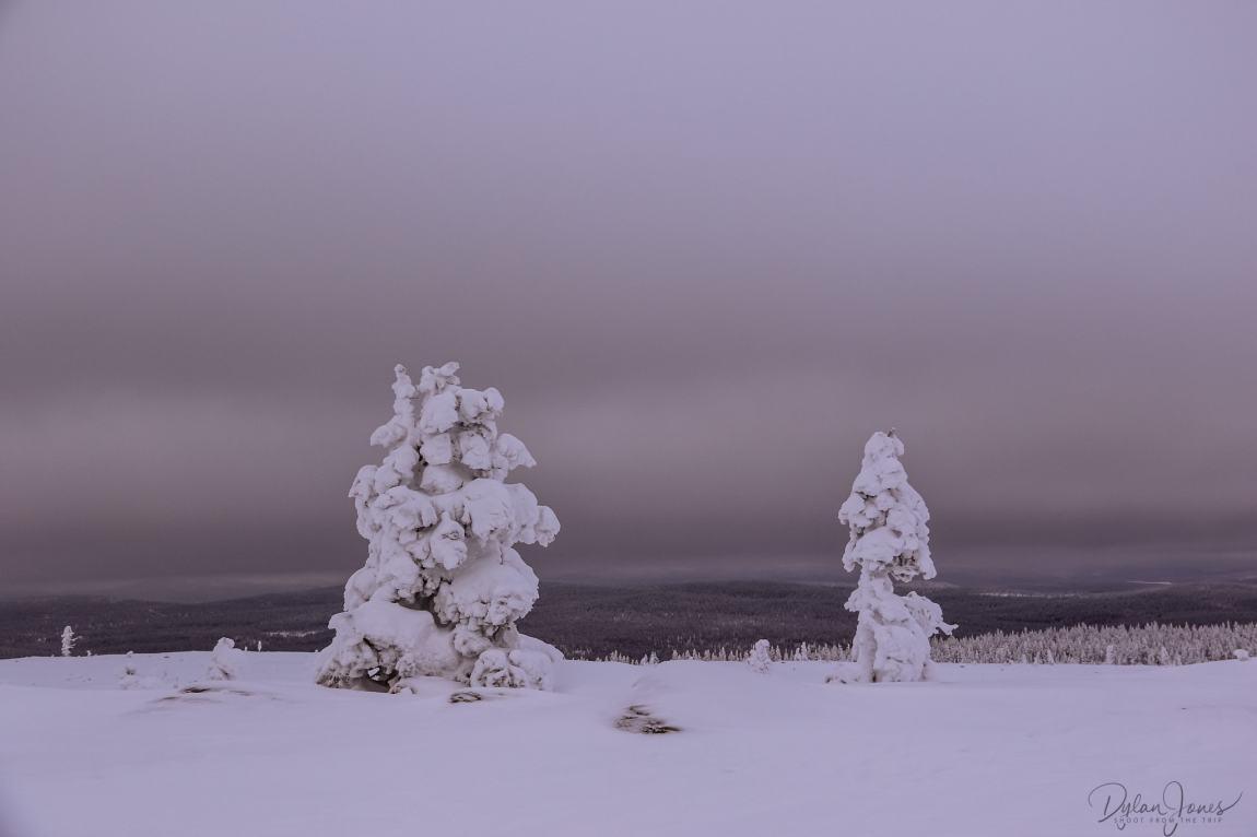 Trees heavy with ice and snow on the fells near Saariselkä Lapland