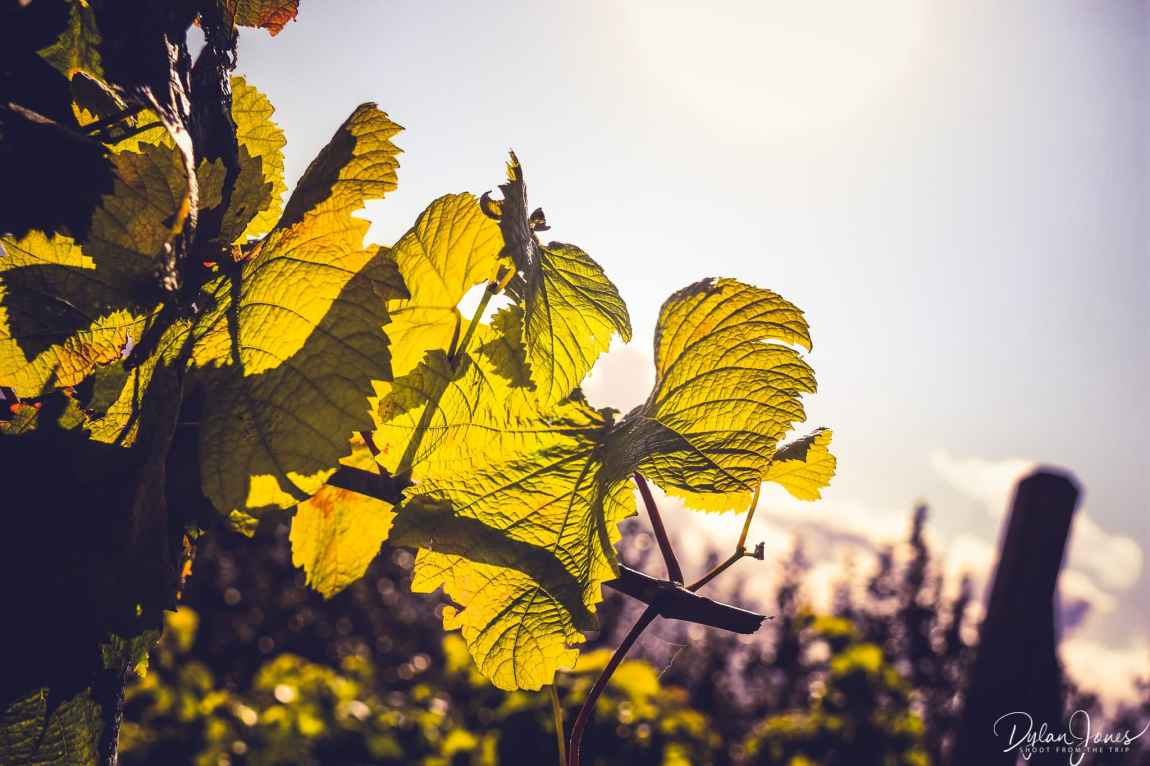 Sun shining through the leaves of a grapevine