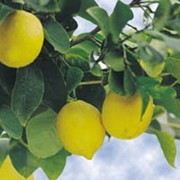 citrus la valette lemon care plant