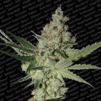 Paradise Seeds - Acid