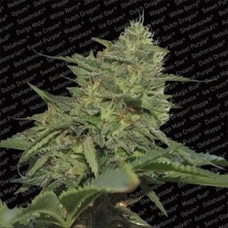 Paradise Seeds - Original Cheese (IBL)