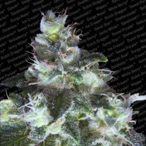 Paradise Seeds - Original White Widow (IBL)