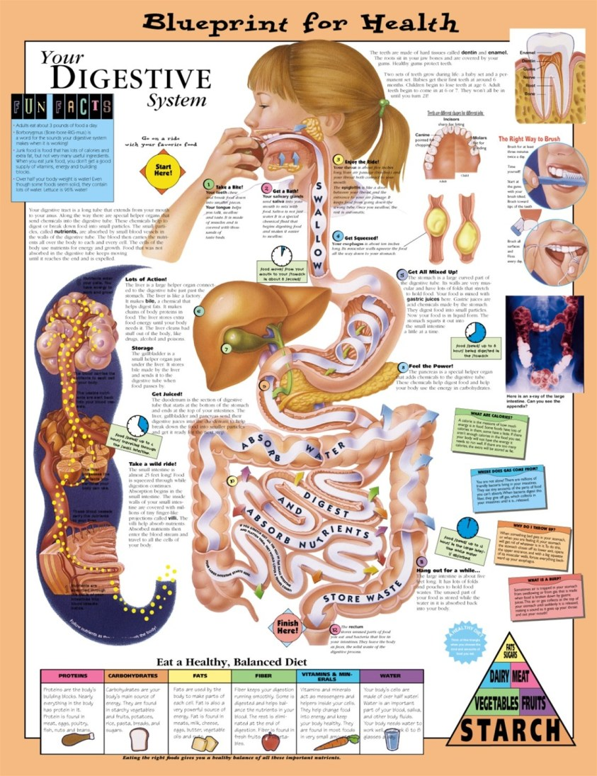 Blueprint for Health Your Digestive System Anatomical ...