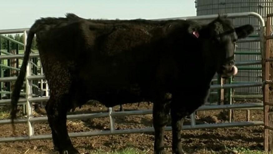 """Résultat de recherche d'images pour """"Cette vache en gestation réserve une surprise à ses éleveurs, c'est le choc après l'apparition du premier veau"""""""