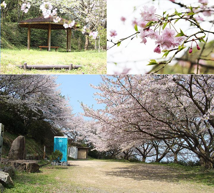 大山祇神社の桜