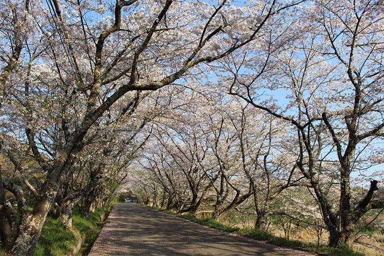 香川県西部浄水道の桜