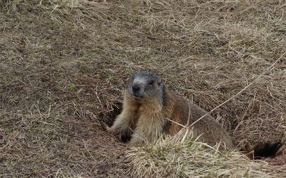 Marmot in its burrow