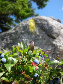 Blueberries and a trail blaze on the Bicknell Ridge Trail, White Mountain National Forest