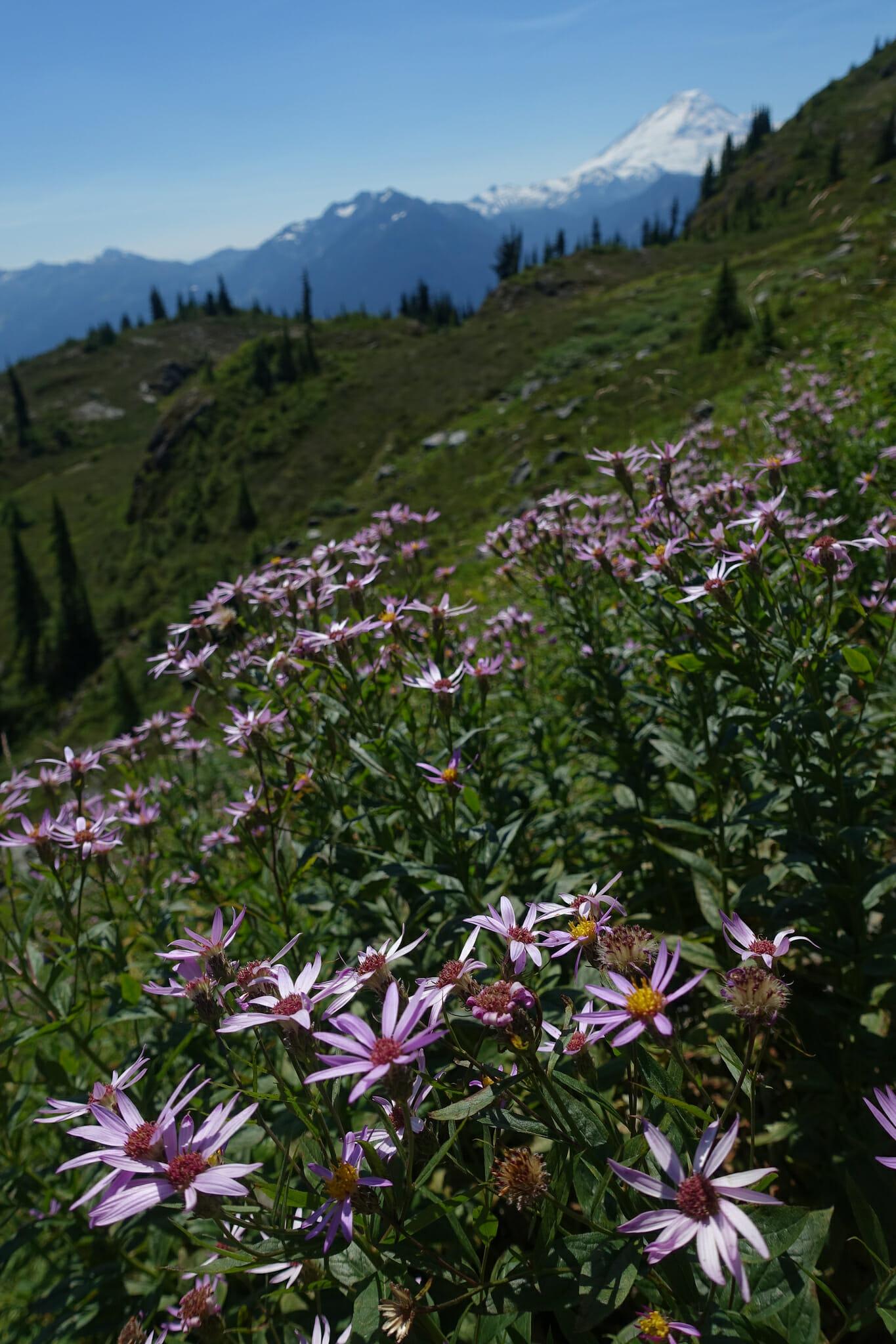 Alpine Aster, with Mount Baker in the background