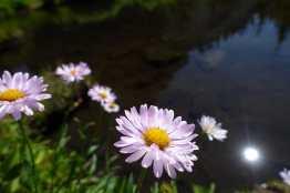 Subalpine Daisies at Mazama Lake