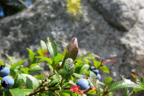 blueberries on Bicknell Ridge Trail