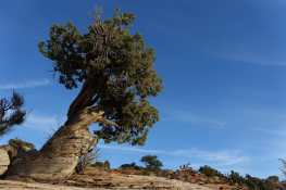 Bristlecone, Island in the Sky, Canyonlands National Park