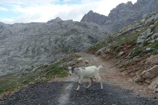 Three goats cross a wide gravel track, each heading a different direction, with mountains in the background.