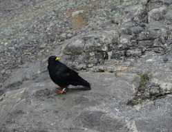 an alpine chough - think of a better groomed crow with a yellow beak -- sits on a rock. Its feet are banded.