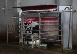 A dairy cow feeds while a milking robot... milks.