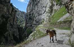 A goat stands on the Cares Gorge trail.
