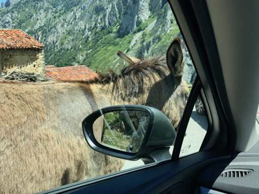 hoto through the driver's seat window of a car. A burro stands immediately against the car.