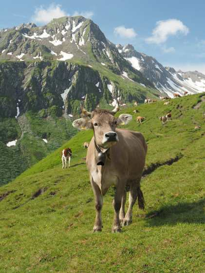 Cows along the Tour du Mont Blanc