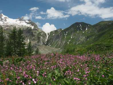 Wildflowers along the Italian Val Ferret, Tour du Mont Blanc