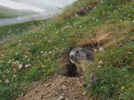 Marmot peering out of its hole