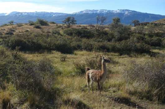 Guanaco stands in a field with mountains in the background