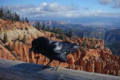 Raven sits on a railing at Agua Canyon overlook