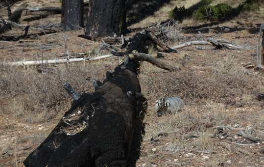 Badger next to a burned log on Riggs Spring Loop