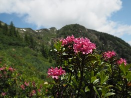 Rhododendron along the trail