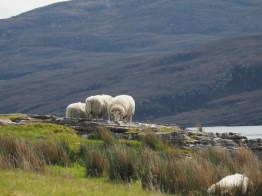 Sheep at Rhue